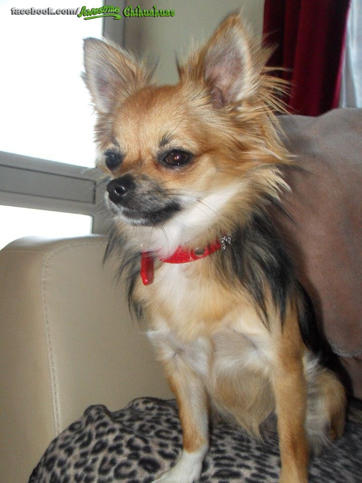 Long Haired Chihuahua from Scotland